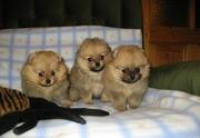 Продам очаровательных щенков померанского шпица