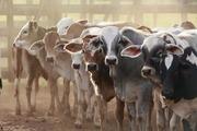 Куплю крупно-рогатый скот,  телят живым весом. Самовывоз из любого реги