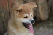 Милые щеночки Акита-ину