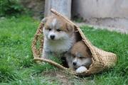 Милые щеночки Акиты-ину производство ЧЕМПИОНОВ